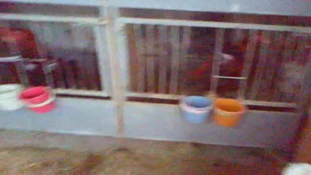 سالن نگهدارای انواع مرغ و خروس