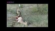 زنده زنده خوردن اهو توسط سگ افریقایی