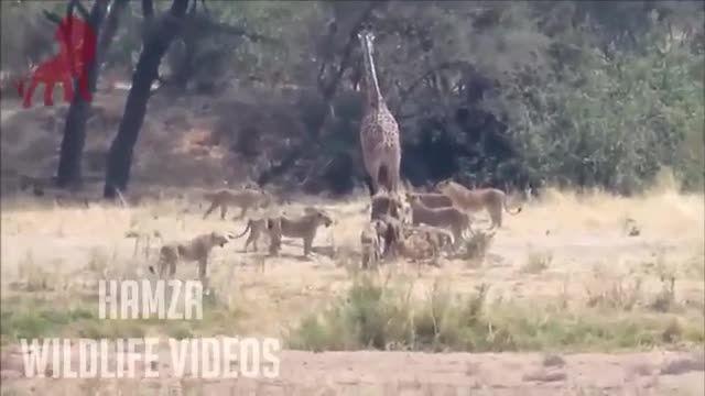 حمله و محاصره کردن شیرهای گرسنه به یك زرافه