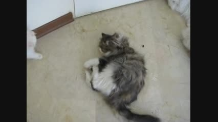 گربه و سنبل طیب