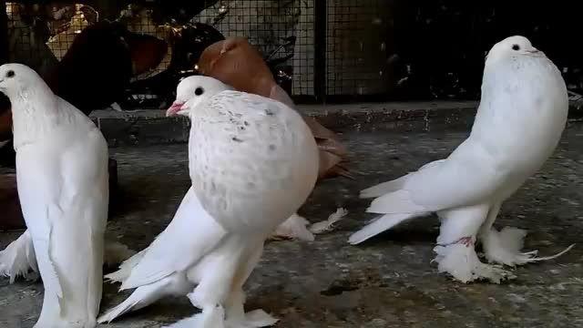 کبوتر بادکنکی
