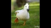 حاصل ازدواج اردك و اسب =))