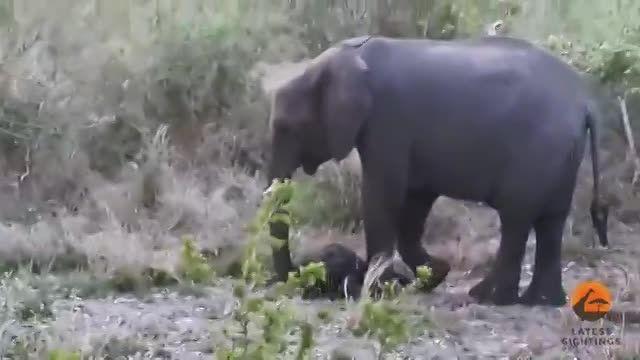 ضربه مادر فیل به بچه فیل برای نجات جان بچه (شوک)