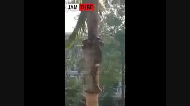 بالا رفتن دیدنی مار عظیم الجثه از درخت