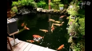 ماهی کوی  نگین  حیاط خونه  ژاپنی ها
