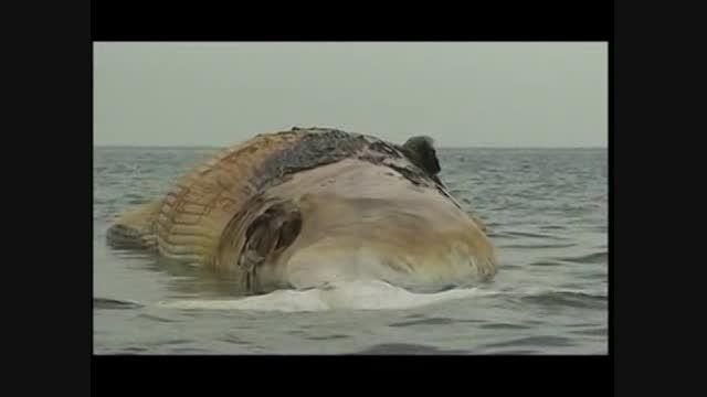تنگستان؛ کشف لاشه نهنگ