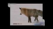 شگرد عجیب روباه برای شکار در زیر برف