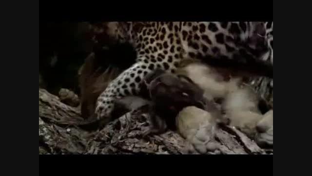 صحنه ای فوق العاده زیبا از حیات وحش