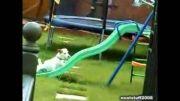 کلیپ تلاش خنده دار و بی فایده سگ برای بالا رفتن از سرسره