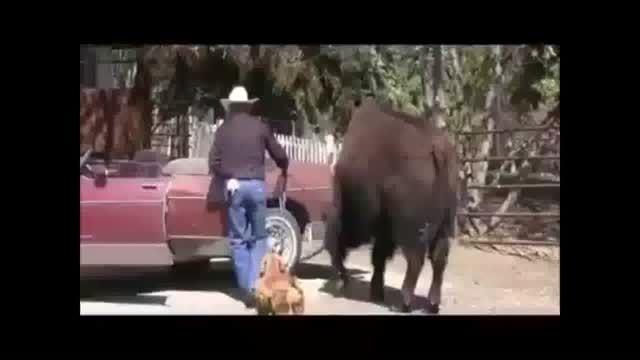 حیوانات خانگی یک گاوچران