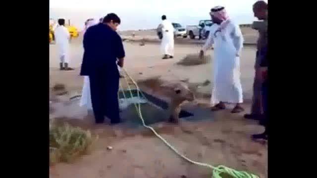 تلاش ناموفق برای نجات شتر بینوا در عربستان سعودیl