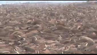 هجوم شیرهای دریایی به سواحل آلاسکا