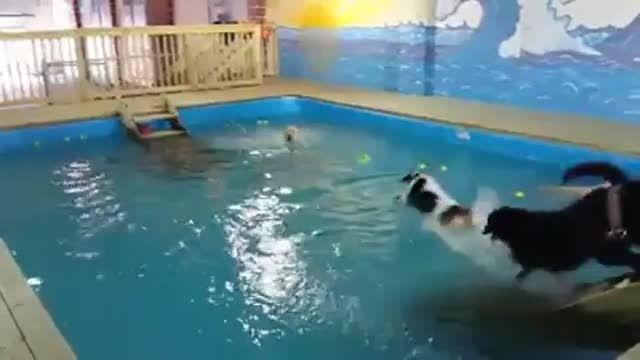 شنای بامزه سگ ها تو استخر