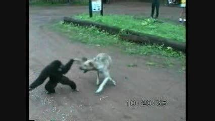 اذیت و آزار سگ توسط میمون