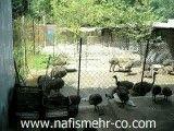 مزرعه پرورش شتر مرغ
