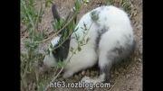 خرگوشِ بازیگوش