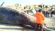 ترکیدن لاشه نهنگ غول پیکر....