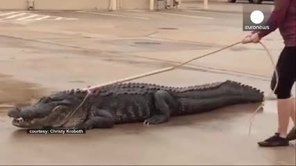 تلاش یک زن برای مهار تمساح