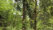 بلندترین درخت جنگلهای آلمان