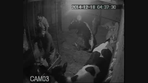 گاو دزدی در تنکابن(نشتارود)