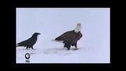 دزدی کلاغ از عقاب