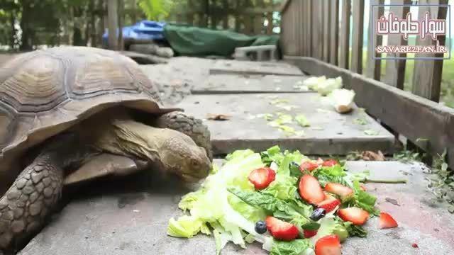 غذا خوردن لاک پشت در نمای تند!