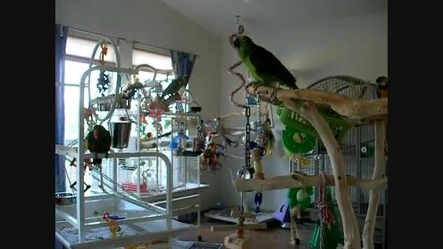 طوطی های یک حرفه ایی خانگی