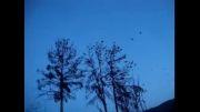 هجوم کلاغها به درختان در اصلاندوز 22 دی 92