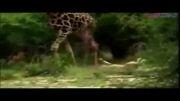 شیرها و شکار زرافه