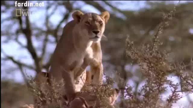 کشتن توله چیتا توسط ماده شیر