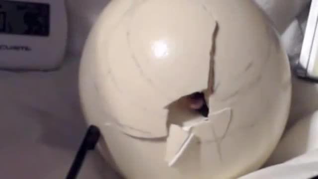 بیرون آمدن شترمرغ از داخل تخم