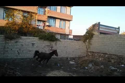 اسب کرد کرنگ سه و نیم ساله فروشی