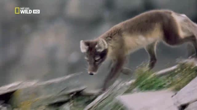 تغییر رنگ روباه قطبی با تغییر فصل (جالب)