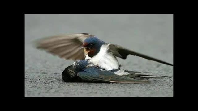 تصاویر گریه اور از مرگ پرنده
