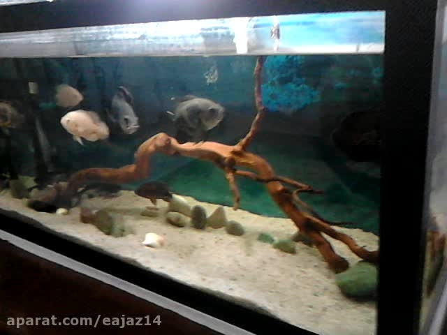 آکواریوم ماهی گوشت خوار(سیچلاید کالیکو-اسکار-پن کوسی)