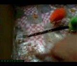 ببینید این جوجه چطوری دونه می خوره و نمی ذاره جوجه قرمزه چیزی بخوره-بسیار جالب حتما ببینید