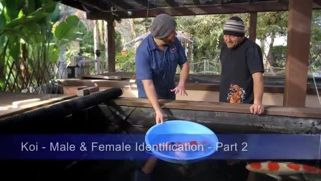تشخیص نر و ماده ماهی کوی -2