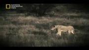 شیر ( مستند شکارچیان ) 2