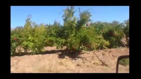 باغ انار ساوه