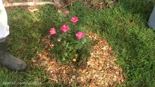 آموزش کاشت و نگهداری گل رز در فصل تابستان
