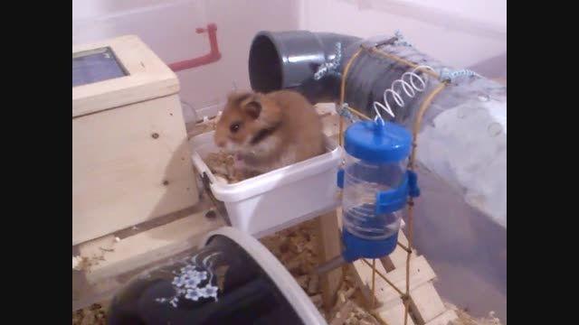 همستر در خانه
