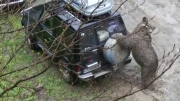 خسارت زدن خرس به ماشین