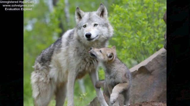 $$هرکی گرگ را دوست داره بیاد و لایک کنه$$