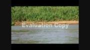 حمله غافلگیرکننده پلنگ به کروکودیل