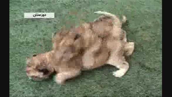 مژده به عاشقان محیط زیست؛ 2 شیر ایرانی متولد شدند