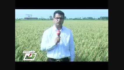 کشت برنج ارگانیک در مازندران