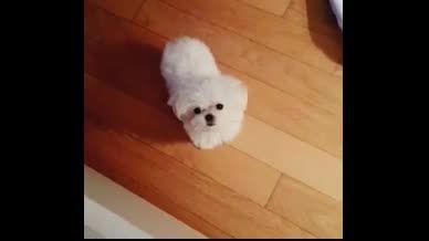 سگ تیفانی