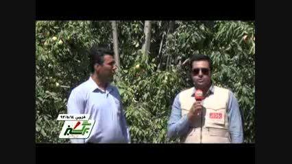 برداشت گلابی از باغات منطقه جمال آباد استان قزوین