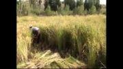 آغاز برداشت برنج از شالیزارهای بخش فیروز كوثر