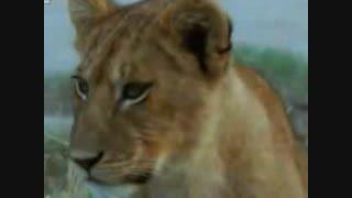 شیر و زرافه و دیگر حیات وحش بسیار دیدنی اخرین قسمت